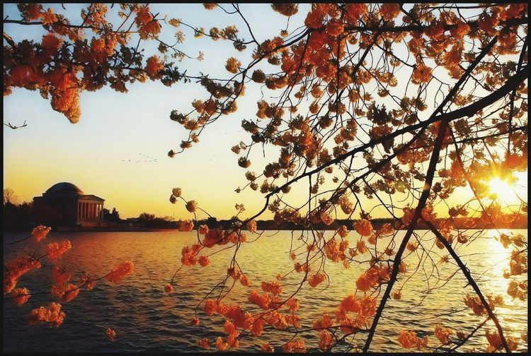 Sunsets shine on Washington, D. C. Cherryblossom Cherryblossomfestival Orange Color Orangesunset Sunset Sunsetsniper Exploring Adventure Beyourself Shine Bright Shine Tree Bird Sunset Sunlight Sky Silhouette Waterfront Tranquility Horizon Over Water