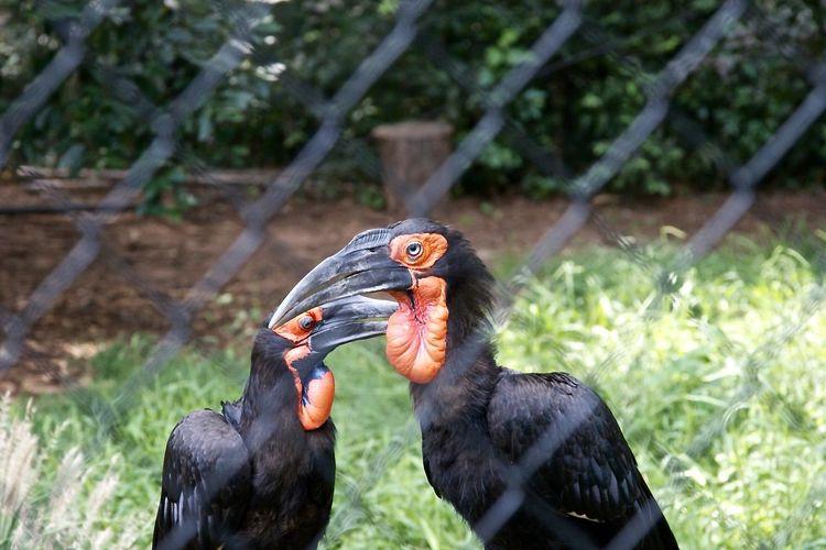 Ground hornbills seen through chainlink fence