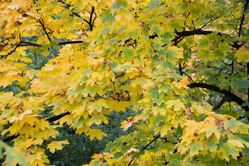 Autumn Autumn Autumn Colors Backgrounds Beauty In Nature Change Close-up Czech Republic Day Fragility Full Frame Grebovka Growth Havlickovy Sady Horizontal Leaf Maple Leaf Nature No People Outdoors Park Prague Tree Yellow