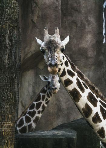 Giraffe Animal Wildlife Close-up Nature Wisconsin Life Wisconsin MKE 🏙 Milwaukee Mke Nature Milwaukeesbest