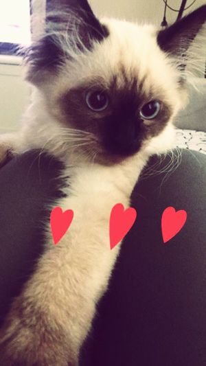 Ragdollkitten Pets Barfi Happiness Cat