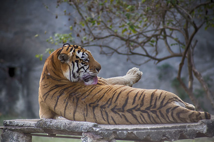 Feline Big Cat Tiger Cat Animal Animal Themes Animal Wildlife Mammal Animals In The Wild Tree Carnivora Relaxation Vertebrate No People Focus On Foreground Nature Day One Animal Zoo Outdoors Whisker Undomesticated Cat