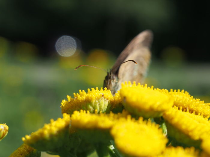 Blurry But Good Butterfly - Insect Animal Themes Animal Wildlife Animals In The Wild Beauty In Nature Buzzing Close-up Day Flower Flower Head Fragility Freshness Green Color Growth Insect Nature No People One Animal Outdoors Petal Plant Pollination Selective Focus Yellow