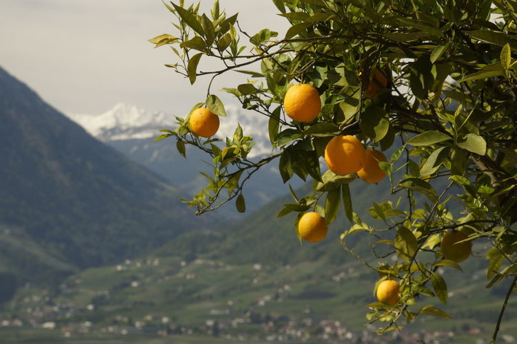 Fruits growing on tree against mountain
