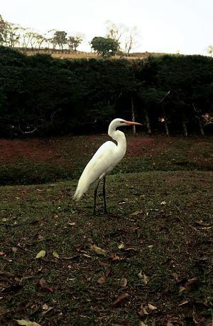 Egret Bird Animal Nature