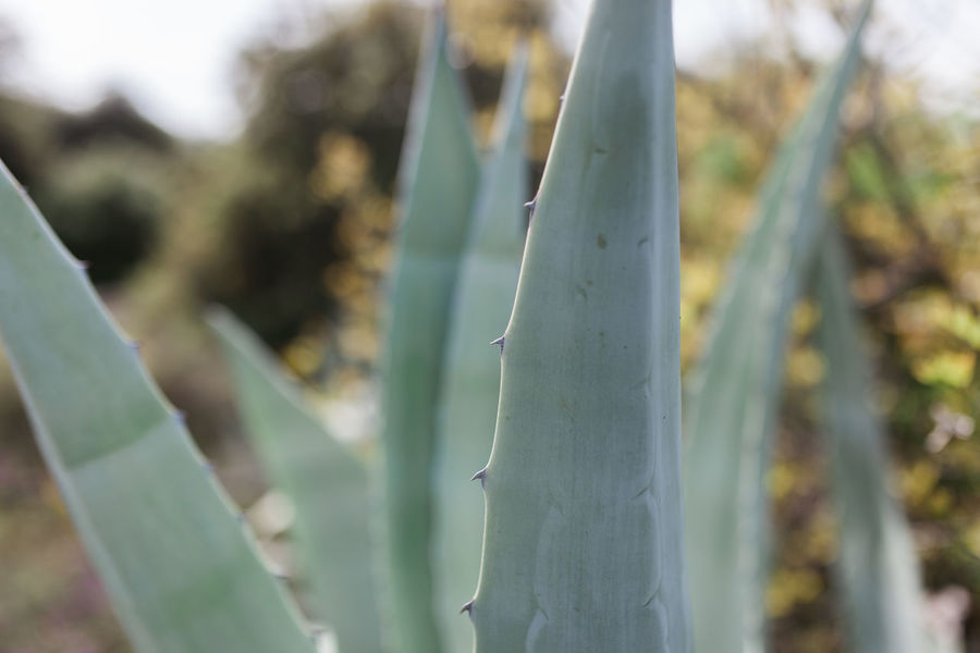 Agavoideae Fleshy Leaves Agave Leaf Asparagaceae Asparagales Cactus Nature Portugal Succulents Agave Agave Americana Agave Fields Agave Flower Agave Plant Agaves Alentejo Cactus Collection Growth Leaf Monocot Nature_collection Perennial Sharp Spiked Succulent Plant