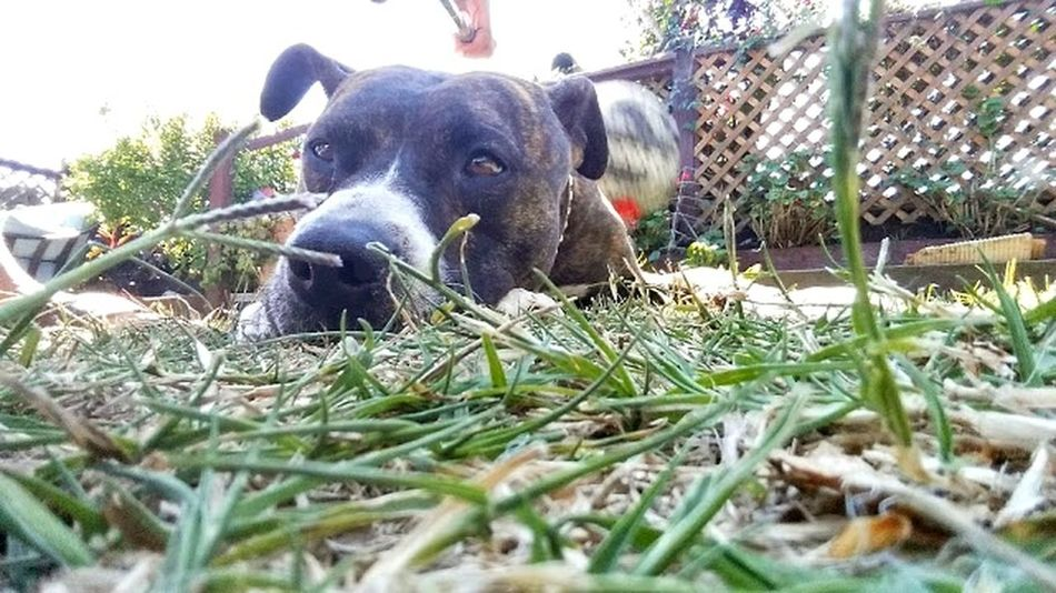 Pit Bull Cute Pets Doglife Lying On The Grass Stoic