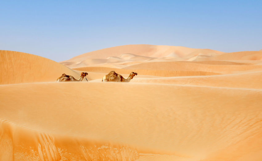 Two middle eastern camels walking in the desert in liwa desert, western region, uae