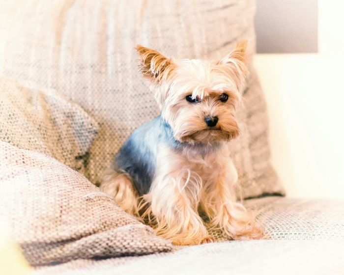 Yorkshire Yorkshireterrier Yorkshire Terrier Dog Puppy Pet Hund Yorkie Yorki Check This Out