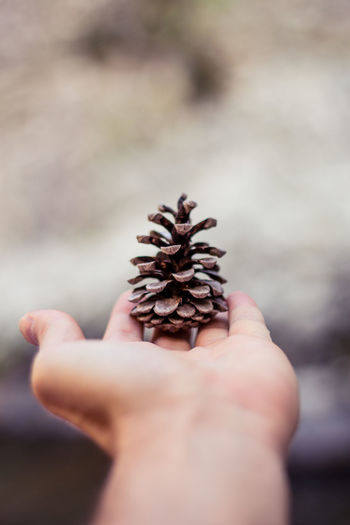 Cropped image of hand holding pine cone