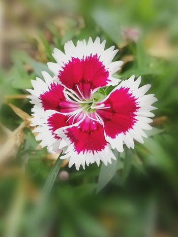 Flower Nature Plant No People Close-up Wildflower Outdoors Flower Head Beauty In Nature Growth Multi ColoredLow Angle View Close Up Photography Freshness Fragility Red And White Flower Day Taken From Smartphone Camera