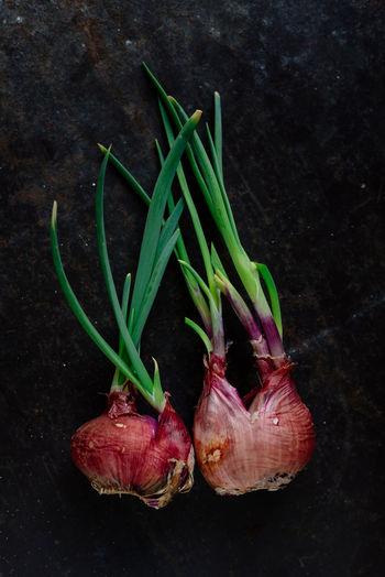 Red onion sprout : Agriculture Growth Red Onions Sprouting Close-up Day Food Food And Drink Freshness Green Color Healthy Eating Indoors  No People Raw Food Red Sprout Vegetable