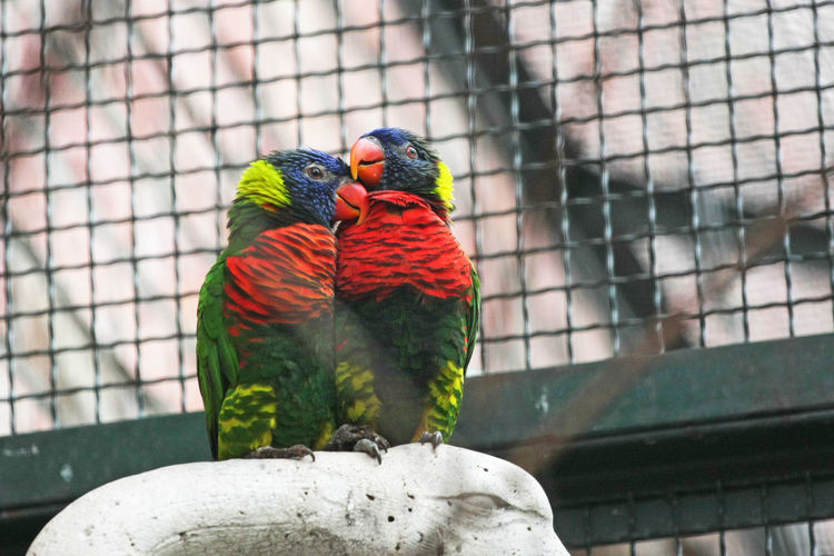 Rainbow lorikeets in cage at zoo