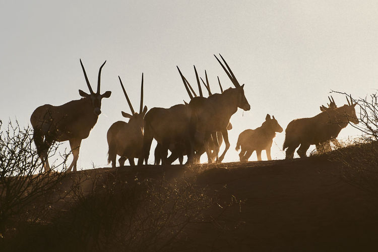Low angle view of silhouette wildebeests walking on field against clear sky during sunset