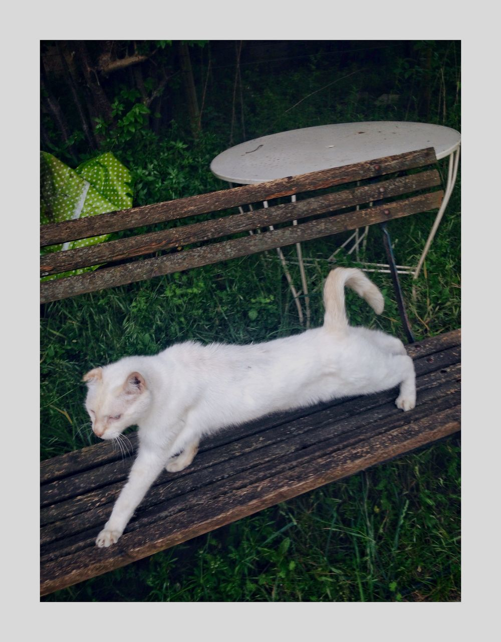 animal, animal themes, mammal, one animal, domestic, transfer print, pets, domestic animals, domestic cat, cat, feline, vertebrate, auto post production filter, no people, plant, relaxation, nature, day, grass, white color