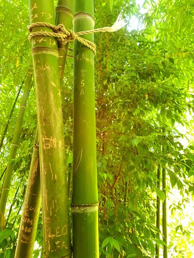 Close-up of bamboo tree in forest