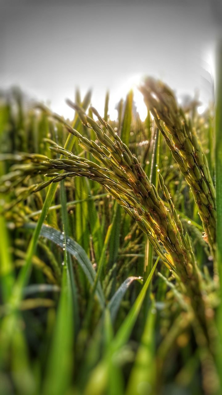 growth, green color, cereal plant, nature, crop, no people, close-up, wheat, selective focus, agriculture, plant, outdoors, day, ear of wheat, beauty in nature