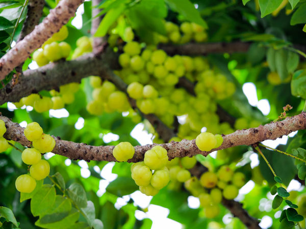 Beauty In Nature Botany Branch Branches Close-up Day Focus On Foreground Fragility Freshness Full Frame Green Green Color Growing Growth Low Angle View Nature Outdoors Scenics Selective Focus Springtime Star Gooseberry Tranquility Tree