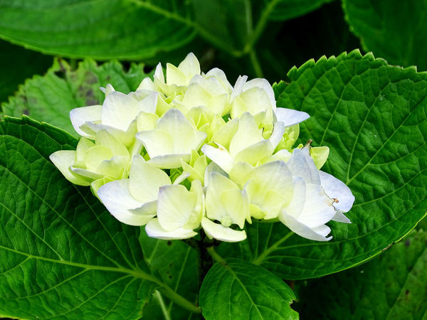 Hortensia Flower Collection Nature_collection Flower Head Flower Leaf Close-up Plant Green Color