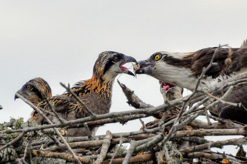 Animals In The Wild Bird Bird Of Prey Day Mouth Open Nature No People Osprey  Osprey Nest  Outdoors Togetherness
