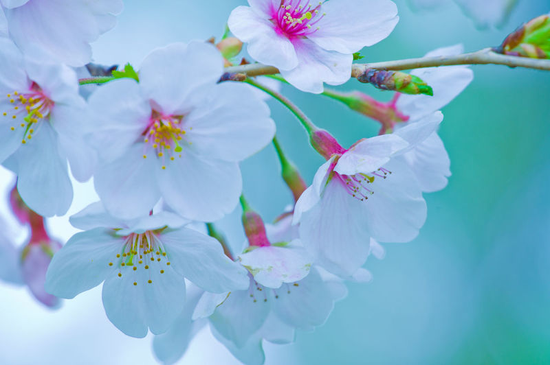 Cherry Blossom Flower Flowering Plant Plant Freshness Beauty In Nature Growth Fragility Vulnerability  Petal Close-up Blossom Inflorescence No People Pollen Twig Tree Flower Head Springtime Pink Color Nature Outdoors Cherry Tree Spring Bunch Of Flowers Japan Japan Photography Japan Photograph Sakura Sakura Blossom