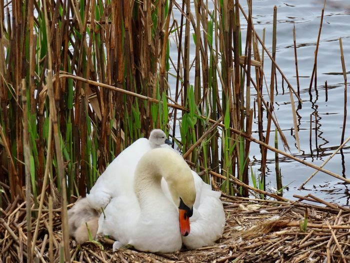 """Now where did that baby go?"" Mute swans on the nest mother and cygnets closeup to nature birds of EyeEm animal themes outdoors beauty in nature Animal Wildlife No People"
