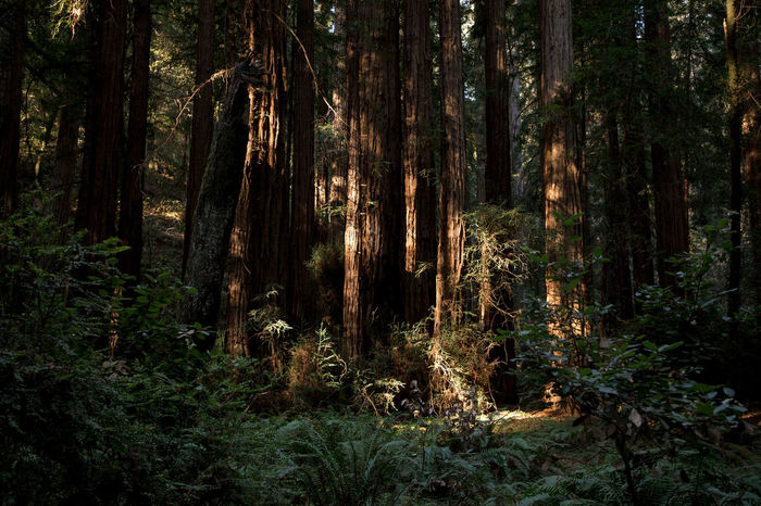 California Muir Beauty In Nature Day Environment Foliage Forest Growth Land Landscape Muir Woods Nature No People Non-urban Scene Outdoors Pine Tree Pine Woodland Plant Rainforest Scenics - Nature Tranquil Scene Tranquility Tree Tree Trunk Trunk WoodLand