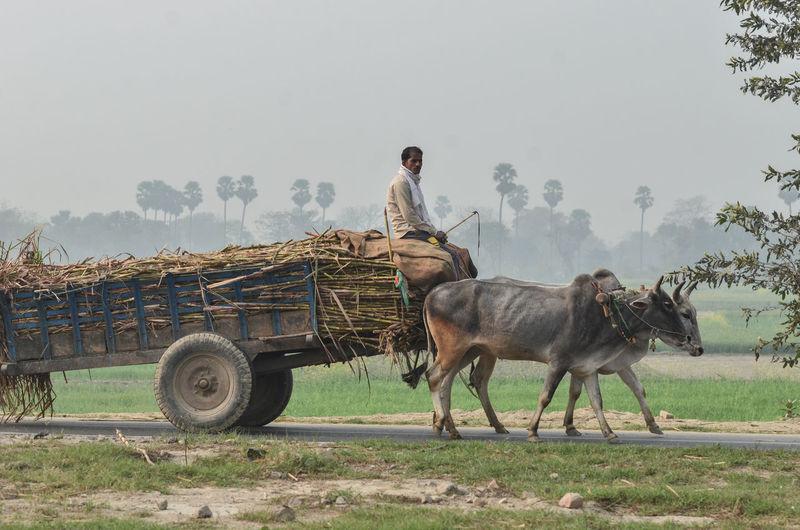 Man on bullock cart on field