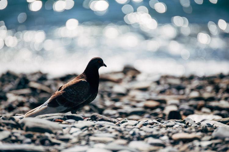 Pigeon at sea shore