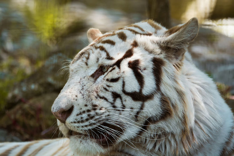 Close-up of a relaxed tiger