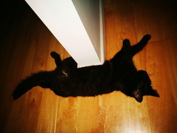 Black Cat Kitten Love Silhouette Animal Cat Cats Of EyeEm Spotlight Timber Floor Sleeping Cat