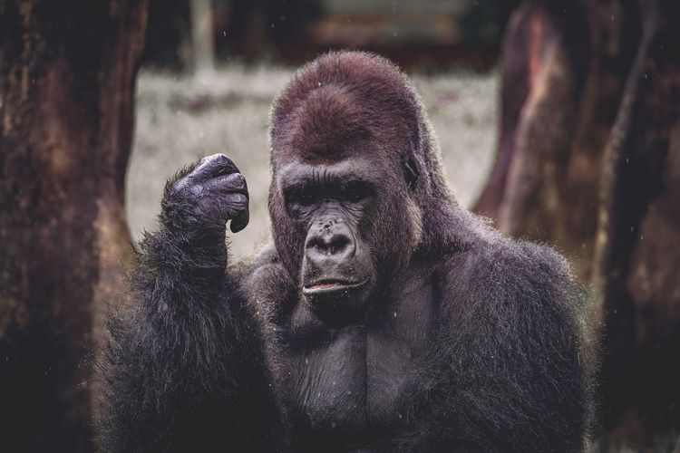 EyeEm Selects Mammal Animal Themes Gorilla No People One Animal Animals In The Wild Outdoors Nature Day Animal Wildlife Portrait Close-up