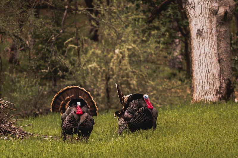 Two wild turkey toms on green grass field in autumn season in forest.