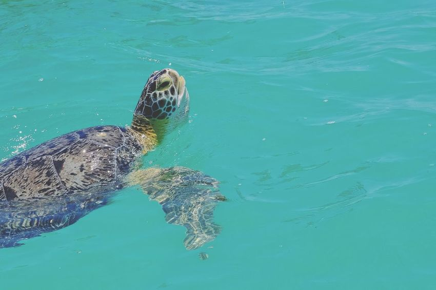 Green Turtle Sian Ka'an Yucatan Mexico Sian Khan Biosphere Caribbean Sea Mexico UnderSea Tortoise Shell Water Sea Turtle Reptile Tortoise Swimming Sea Life Sea Alligator Threatened Species Turquoise Colored Vulnerable Species Endangered Species