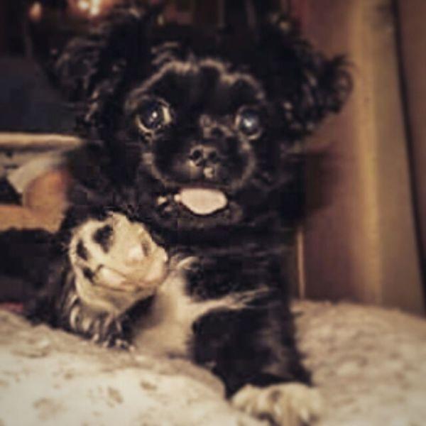 George Tibetan Spaniel Dogstagram Dogs SweetLe Adorable Puppy