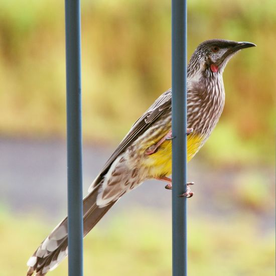 This Red Wattlebird is perched on a balcony rail at Animal Themes Animal Wildlife Animals In The Wild Australia Bird Bird Feeder Close-up Day Focus On Foreground Gosford Native Birds Nature New South Wales  No People One Animal Outdoors Perching Red Wattle Bird