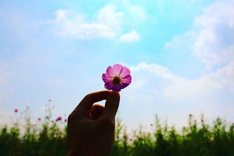 가을도 어김없이 소리없이. 삼락생태공원 코스모스 삼락공원 가을 가을하늘 포토그래퍼 부산가볼만한곳 하늘 가을코스모스 꽃 부산 풍경 부산 부산여행 빈카메라 DSLR Eos650d Canon Korea Busan Pusan