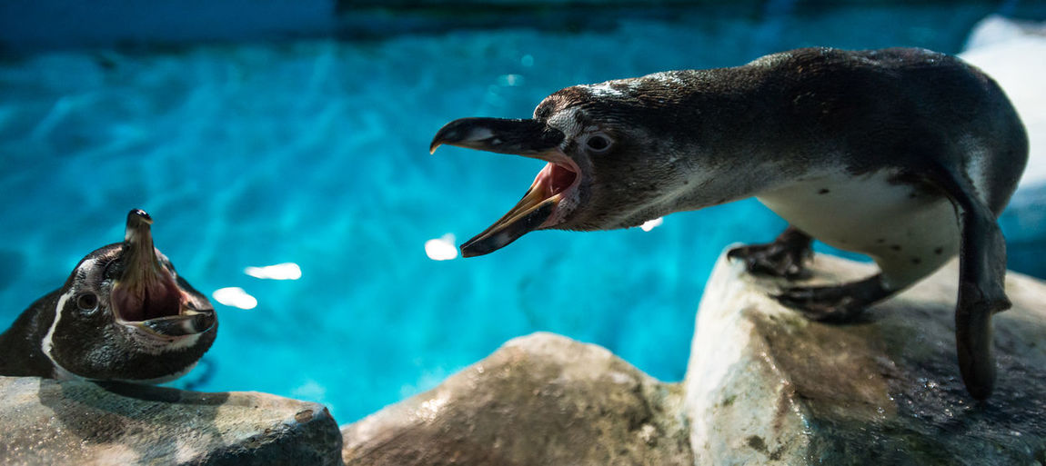 Penguins with mouth open on rocks at aquarium