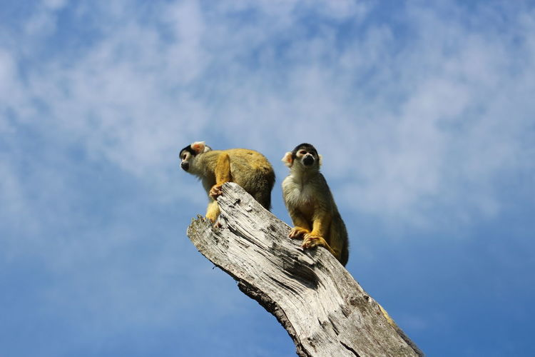 Low angle view of monkeys on tree against cloudy sky