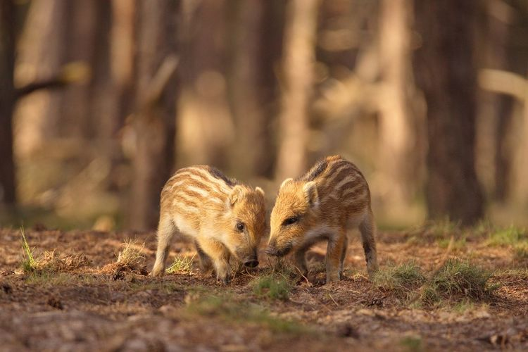 Wild Boar Piglets Standing On Field