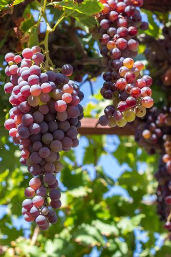 Ripe grapes on