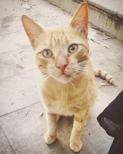 Cats Catslover Lovecats Cutecats Beutifull Beutifuleyes Bebecat Love Photographyportrait Animal Photography Bearcats Beauchaton Beau Mimi Tropbeau