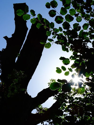 Low Angle View Clear Sky Tree Sunlight Silhouette Sun Growth Sunbeam Nature Scenics Branch Beauty In Nature Lens Flare Tranquility Bright Tree Trunk Tranquil Scene Day Sky Plant Duvenstedt Germany