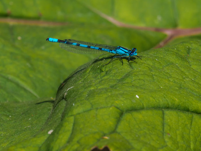 Blue Damsel Animal Themes Animal Wildlife Animals In The Wild Beauty In Nature Blue Close-up Damselfly Day Green Color Growth Insect Leaf Nature No People One Animal Outdoors