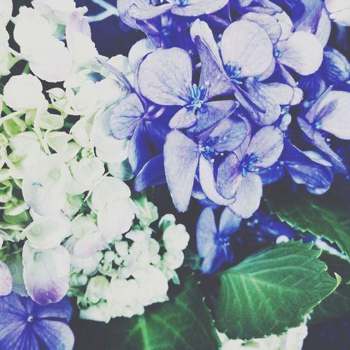 紫陽花2015Photo 紫陽花-hydrangea- 紫陽花 寒色 気まぐれ