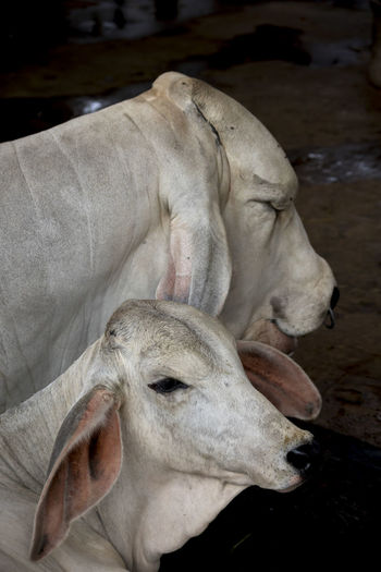 Cow Cow Eye