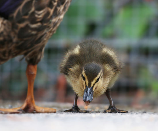 Mallard Duckling Animal Family Animal Wildlife Animals In The Wild Bird Close-up Day Focus On Foreground Gosling Mammal Nature No People One Animal Outdoors Selective Focus Vertebrate Young Animal Young Bird