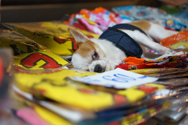 lazy dog #Thailand #sleepy #NoFilter #streetphotography #nightmarket EyeEm Selects Pets Multi Colored Dog Puppy Animal Themes Close-up Chihuahua - Dog Lap Dog Purebred Dog Small Pet Clothing