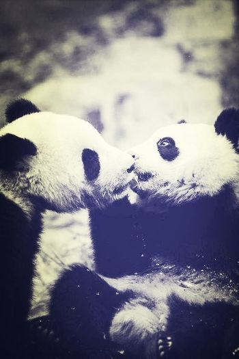 I am in love with pandas