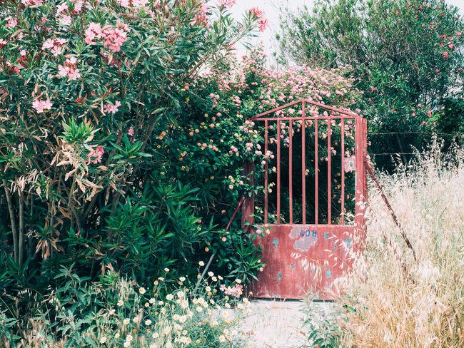 Beauty In Nature Front Or Back Yard Garden Gate Greece Mediterranean  Mediterranean Plants Nature Oleander Pink Pink Flower Plant Shrub